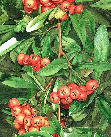 Vintage Pyracantha Print, Watercolor of pyracantha by Michael Daniels Art & Illustration, Firethorn, Red Berries, Floral Watercolor Print