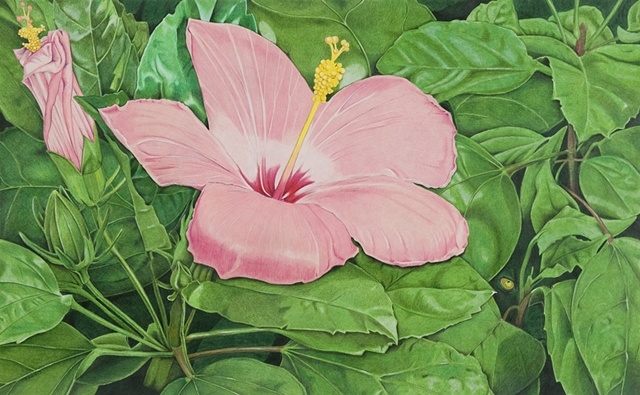 Watercolor of hibiscus, pink hibiscus, floral watercolor