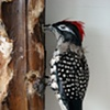 First Harvest in the Wilderness with Woodpecker