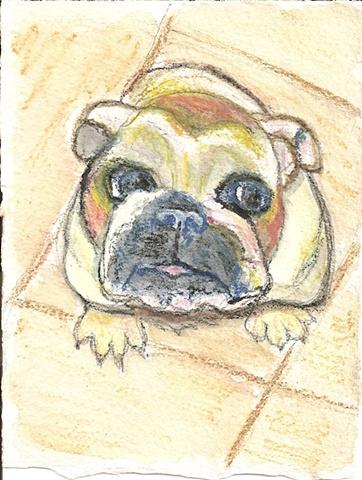 Watercolor pencil on paper depicting a bulldog