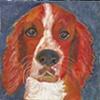 Taran, the Welsh Springer Pup