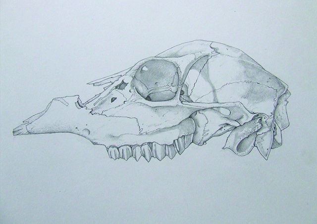 Deer skull study pencil on bristol board