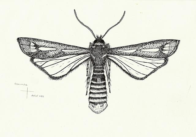 Sessiinidae