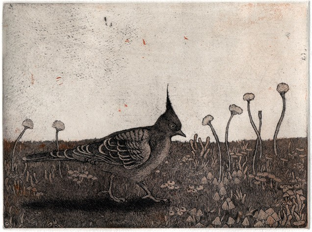 bird, crested pigeon etching aquatint