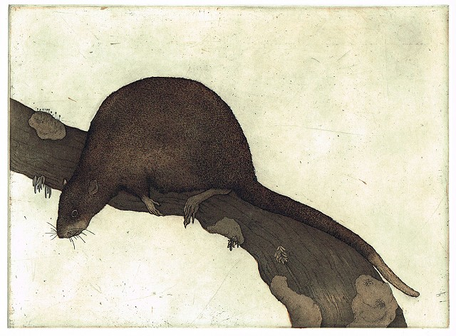 Etching and aquatint rat