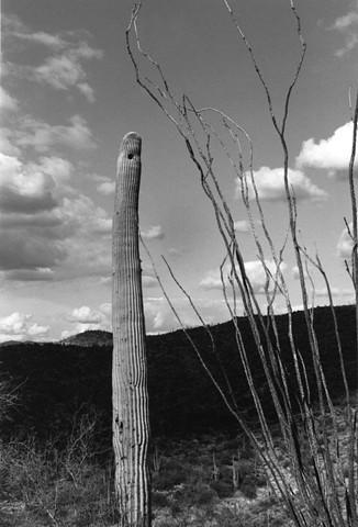 Saguaro & Ocotillo
