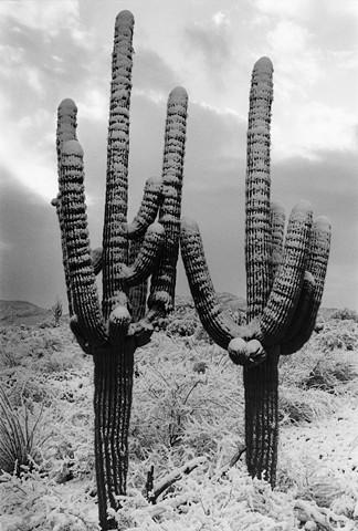 Tres Saguaros in Snow No.2