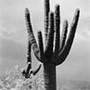 Tres Saguaros in Snow No.1
