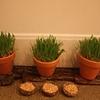'sabzeh', wheatgrass