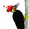 Piliated Woodpecker Color Study