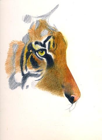 Tiger/W.I.P.