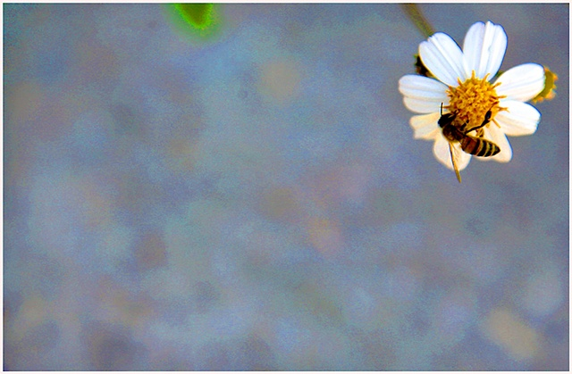 daisy, flower, bee, bumble bee, bee and flower, Crystal Shelton, Crystal Shelton Photography
