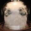 Macaca Fuscata Craniophagus