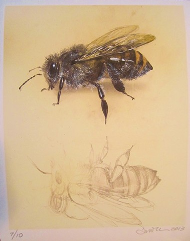 bee, animal drawing, bee drawing, realistic nature art, contemporary drawing