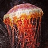 Black Sea Nettle
