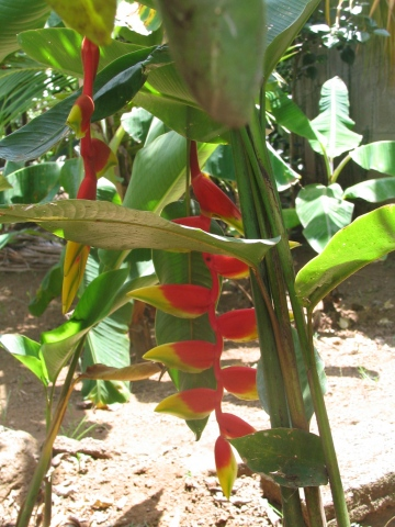 Red and yellow plant