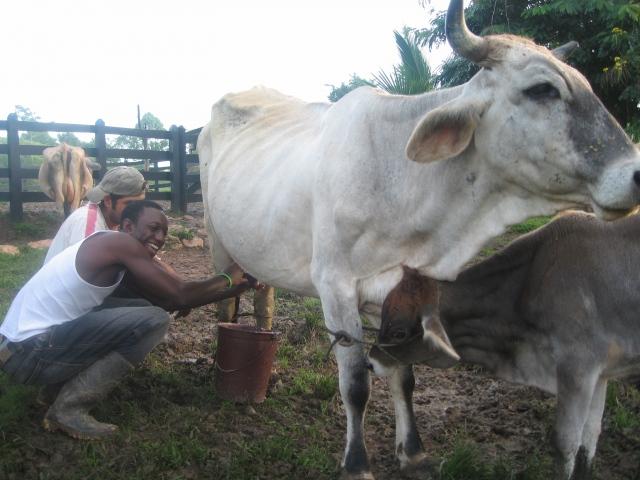 Cityslicker milking a cow