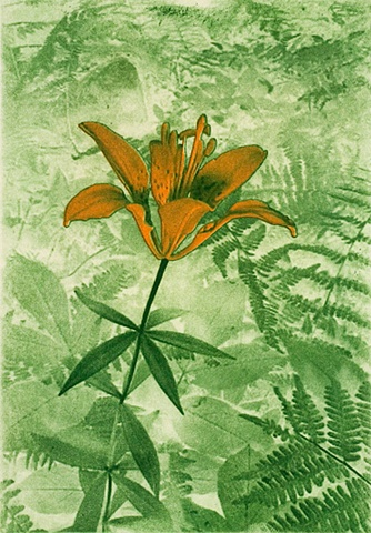 Wood Lily 1