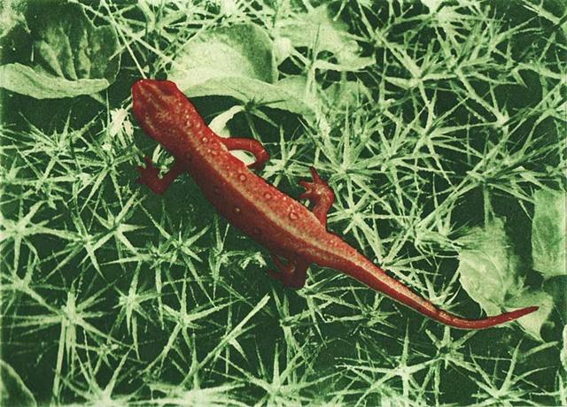 Red Eft