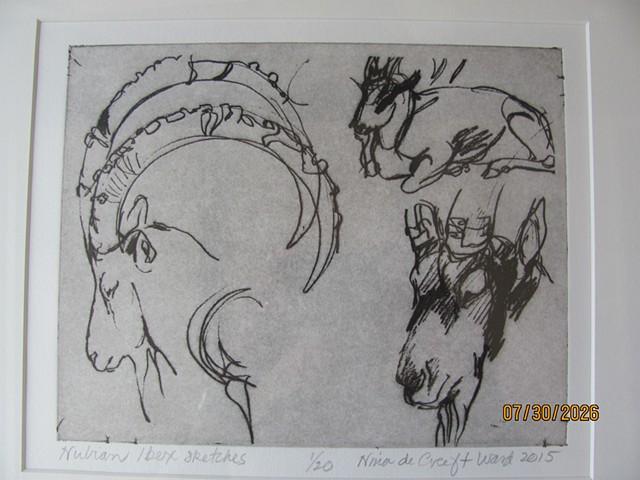 Nubian Ibex Sketches