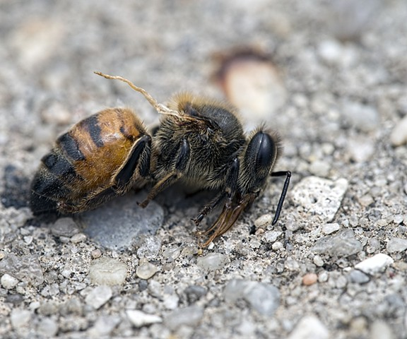 macro shot of dead bee in New Orleans