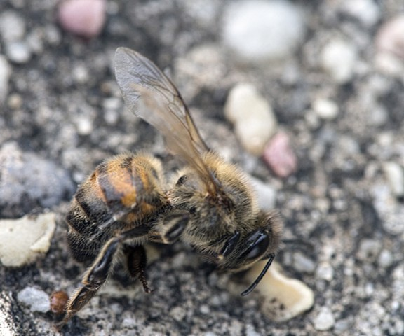 bee dead nature macro photography