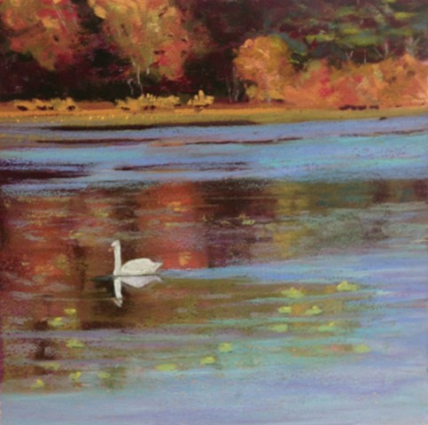 Swan a Swimming