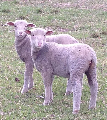 White merino lambs Ferne & Lily