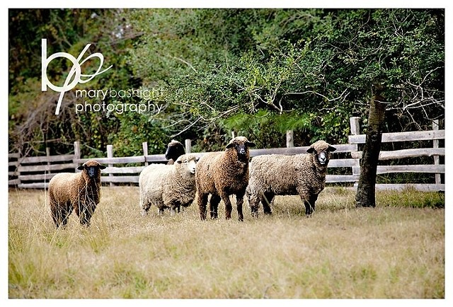 Island Farm Sheep