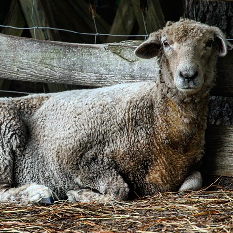 Great shot of Romney sheep, Mamie.