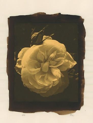 """""""English Rose"""" Edition 1/10"""