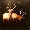 """""""Elk"""""""