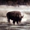 """Buffalo in Wild"""