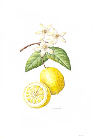 Lemon/Citrus x limon