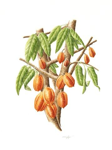 Cocoa Bean Tree