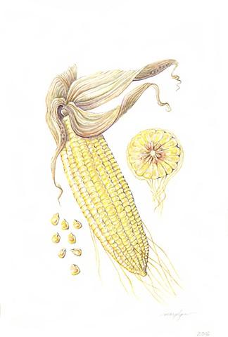 Corn/Zea mays