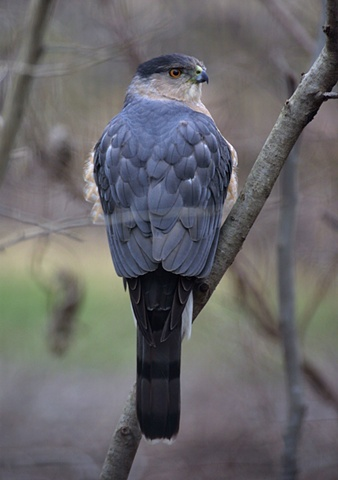 A Cooper's Hawk pauses on a cloudy afternoon.