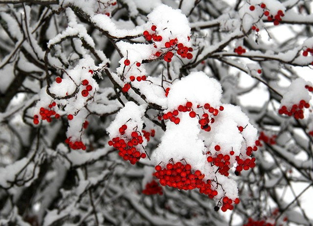 Mountain Ash berries following an early November snowfall in northwestern Montana