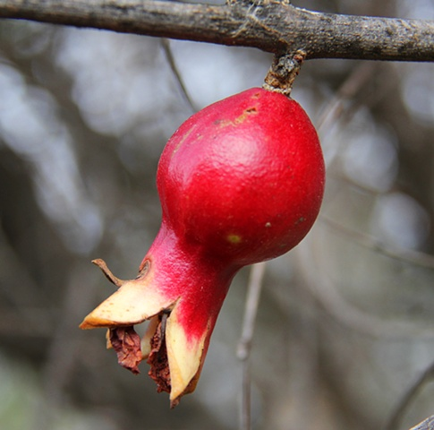 A small pomegranate hangs on like an abandoned Christmas ornament during a southern California January.