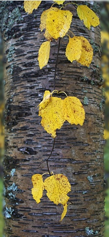 Autumn birch leaves contrasted against a wet tree trunk.
