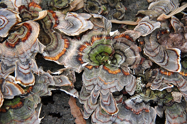 Patterns of winter fungi in Rock Creek National Park, Maryland.