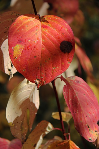A Red Dogwood shows its colors on a bright autumn day in northwest Montana.