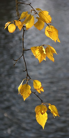 October Birch leaves glow against the Swan River in northwest Montana.