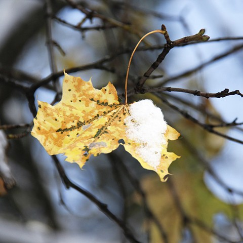A lone maple leaf in the snows of northwest Montana.