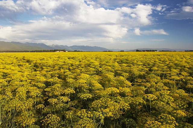 An August field of dill in bloom in the Flathead Valley of northwest Montana.