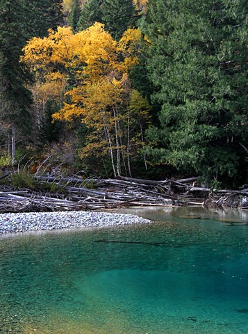 The glacial blue of McDonald Creek and the gold of autumn Birches signal the arrival of Fall in Glacier National Park.