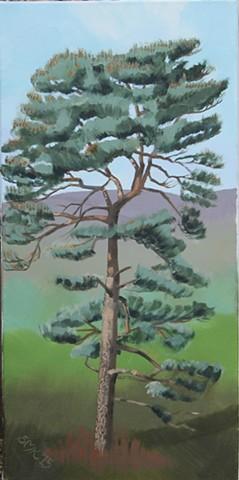 greeting cards, postcards, scots pine, pinus sylvestris