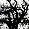 Savannah Tree 4