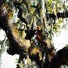 Savannah Tree Study 1