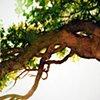 Savannah Tree Study 9
